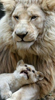 Pin by Daniel Taotua on Lions & Big Cats Animals And Pets, Baby Animals, Funny Animals, Cute Animals, Wild Animals, Big Cats, Cats And Kittens, Cute Cats, Beautiful Lion