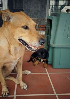 """Day 1: meeting the rest of the pack: a cute brown Westpointer from Curacao. A shy black """"Knoekenhondje"""" from Aruba. And a fluffy cat from Egypt. I think I will fit in perfectly."""