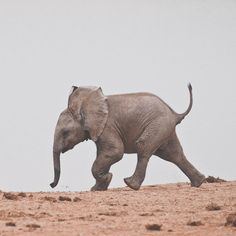 Baby Elephant Photograph by Shaun Baby Elephant Walk, Little Elephant, Elephant Love, Elephant Art, Animal Art Prints, Animal Posters, Baby Animals, Cute Animals, Wild Animals