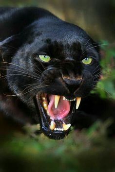 "B-) on Gorgeous black panther. In the words of Ogden Nash: ""If a panther calls, don't anther. In the words of Ogden Nash: ""If a panther calls, don't anther. Nature Animals, Animals And Pets, Cute Animals, Black Animals, Wild Animals, Puma Animal Black, Black Jaguar Animal, Scary Animals, Fierce Animals"