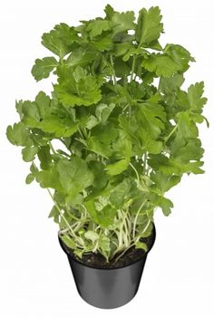 Variegated Balfour Aralia in 4 Inch Pot Mealy Bugs, Chinese, Bonsai Plants, Tropical Plants, Low Lights, Houseplants, Autumn Leaves, Indoor Plants, Shrubs