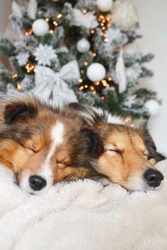 • Shelties @ Christmas! •