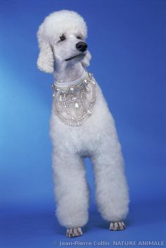 ♔French Standard Poodle ♔