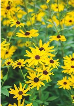 24 key plants from the Oudolf Field   Rudbeckia subtomentosa. This sweet coneflower is a native of the central and eastern prairies of North America. 47 in / 1.2m.