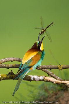 European Bee-eater throwing a captured dragonfly in the air while feeding, Danube delta, Romania. Steve Bloom Images