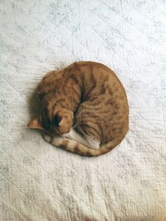 Orange kitty sleeping all curled up in a little ball.