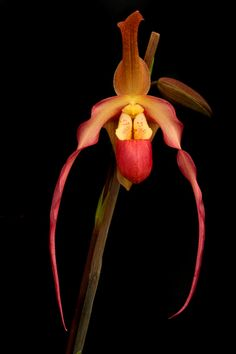 Ladies Slipper Orchid.  Naples Florida is a great place for the orchid enthusiast. Our climate - and plenty of helpful insight from the Naples Botanical Garden and The Naples Orchid Society - make things easier. See NaplesBestAddress... for our Naples lifestyle and real estate ideas.