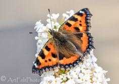 https://flic.kr/p/NC2Ccs   8256-small tortoiseshell butterfly