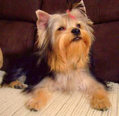Yorkie Health Tip: Taking Care of Your Yorkshire Terrier's Ears.  The right food is also important. We've battle ear issues from an early age.
