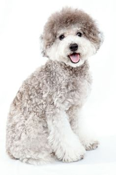 I am a silver toy poodle. I like play biting and my nook.