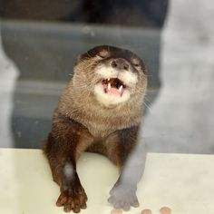 Hahaha, human you so funny. Animals And Pets, Baby Animals, Funny Animals, Cute Animals, Funny Animal Pictures, Cute Pictures, Baby Sea Otters, Significant Otter, Otters Cute