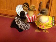 Ducklings wearing cupcake dresses