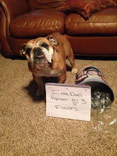 Bulldog Shame Photo.  My little Muffin.