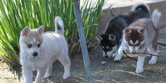 Alaskan Husky Dogs Alaskan Klee Kai Information. Siberian Husky Names, White Siberian Husky, Siberian Husky Puppies, Husky Puppy, Alaskan Klee Kai, Alaskan Husky, Husky Breeds, Dog Breeds, I Love Dogs