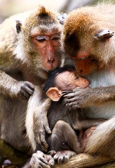 Monkey Family - just look at the Daddy looking on as the Mother tends to her baby!  a very tender moment!