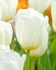 Tulip Catherine