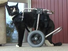 Blackie the Wheelchair Cat and His New Quest. My furend... GOD Bless him & his purrson