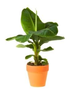 Cavendish Banana Tree -  Grow Delicious Bananas Indoors or Out!  http://www.fast-growing-trees.com/Dwarf-Cavendish-Banana-Tree.htm