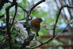 My little friend in Cornwall #cornwall #robin #nature #beauty #blossom
