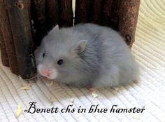 Benett chs in blue hamster Syrian Hamster, Blue, Animals, Animales, Animaux, Animal, Animais