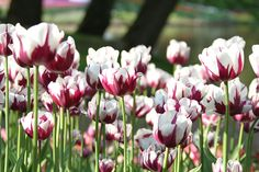 Tulip 'Rem's Favourite' is a favourite of ours too!