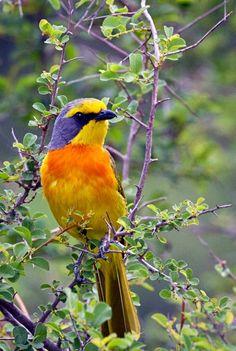 Orange-breasted Bushshrike (Telophorus sulfureopectus). A passerine bird of Africa. photo: Chye Guan, Tan.