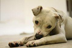 Katie Pit Bull Terrier • Adult • Female • Medium Chicago A.C.C. Chicago, IL