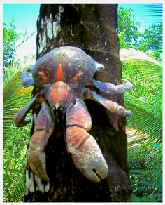 Coconut Crab: It is the largest land-living anthropoid in the world. ~ Wikipedia - [www.dailymail.co.uk]