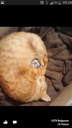 Anne kedi