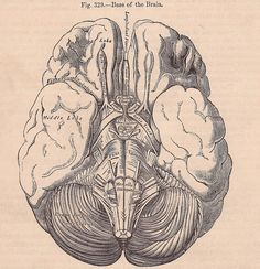 Brain Illustration from an 1890's anatomy book.