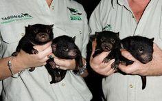 Baby Devils from Tasmania    #Australia #animals #Tasmanian #Devils