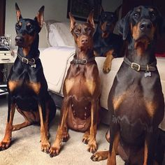 A house is not a home unless it's filled with Dobies  @thedobieteam