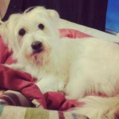 Jefferson is an adoptable West Highland White Terrier Westie Dog in Spartanburg, SC.  All about me! Name: Jefferson Breed: Westie/schnauzer mix Age: est 3-4 years Height: est 15 inches Weight: about ...
