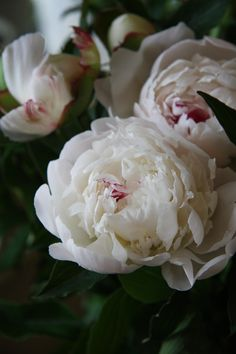 peony Festiva Maxima. For warmer weather