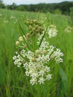 Asclepias verticillata (Whorled Milkweed)  Just like we used to see in Pappa's pasture.