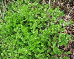 slow food : les plantes sauvages