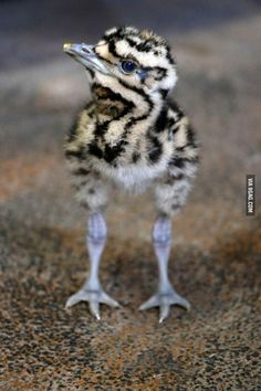 This adorable little thing, successfully hatched, is destined to become one of Earth's largest flying birds.