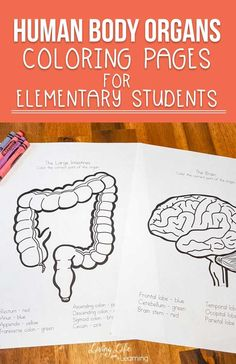 Human Body Organs Coloring Pages for Kids Are you learning about the human body? Learn about the different areas of each organ and label them by coloring these human body organs coloring pages! Perfect for homeschool science! 5th Grade Science, Science Curriculum, Elementary Science, Science Lessons, Teaching Science, Science Activities, Life Science, Elementary Schools, Science Biology