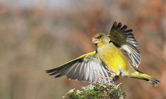 Page 18 - Forum du Groupe Ornithologique Normand Greenfinch, Finches, Beautiful Birds, Europe, Image, Birds, Chaffinch