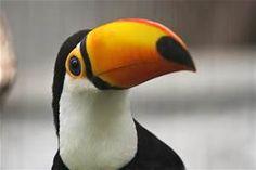 toucan - Résultats Yahoo Search Results Yahoo France de la recherche d'images