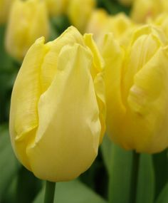 Single Early Tulip Sunny Prince--This cheerful Purple Prince sibling is pale lemon-yellow with a darker lemon interior. It is now considered to be the best yellow variety among the Single Early Tulips. (It is a good replacement for Bellona, which is no longer grown.)