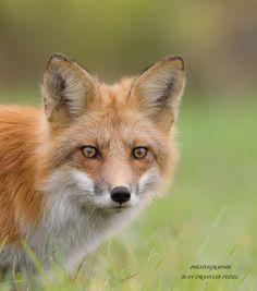 Red Fox by Jean-François  Fedel on 500px