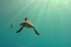 #turtle in #sun rays by BarryFackler www.flowcheck.es Taller de equipos de buceo #buceo #scuba #dive