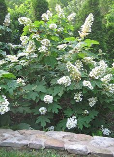 Hydrangea quercifolia / Oakleaf Hydrangea -Snow Queen is great in full shade