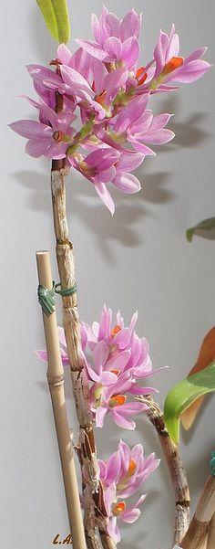 Dendrobium bracteosum | Flickr - Photo Sharing!