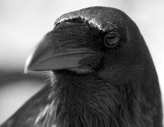 Raven 2 by Dan Newcomb Photography