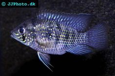 Blue Acara -  Blue Acaras are South American Cichlids and can be found in parts of Venezuela, Columbia, Trinidad and Tobago.  These fish have adapted to a variety of environments, inhabiting both murky slow-flowing waters and clearwater rivers and streams. The Blue Acara is a popular breed among new Cichlid owners because these fish are relatively peaceful Cichlids and also tend to be fairly inexpensive.