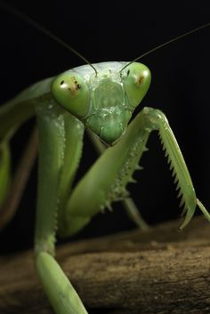 Glassy-eyed... 'Praying mantis', photography by Official San Diego Zoo, via Flickr (15/02/2005).