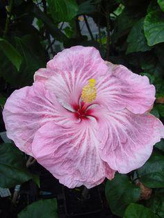 Tahitian Hibiscus 'Incredible'