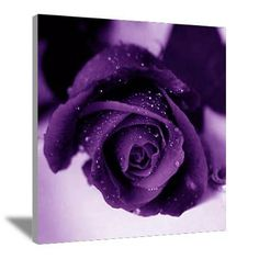 Show purple rose flowers hd wallpaper and picture. Information about purple rose flowers. Rose flowers is one of popular flower in United State. Purple-colored roses are very beautiful and luxurious look. Purple Love, All Things Purple, Purple Rain, Shades Of Purple, Deep Purple, Purple Stuff, Purple Glitter, Pink Purple, Hot Pink